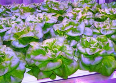 Hydroponic butterleaf lettuce - our very first variety