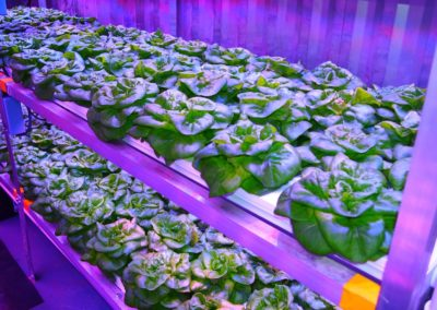 Butterleaf lettuce growing hydroponically in the Gen II CGS