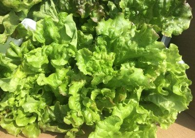 Hydroponic red leaf lettuce i