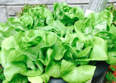 Butterhead lettuce starts growing nicely in soil