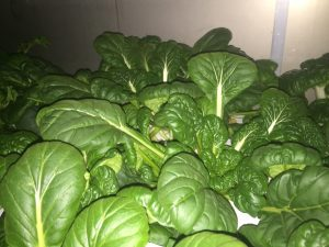 Baby Pak Choy growing inside Belleque Family Farm's Hydroponic Farm in Dillingham, Alaska
