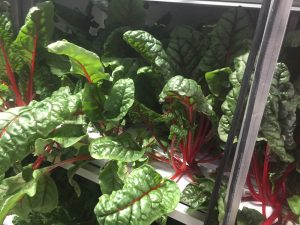 Chard growing inside Belleque Family Farm's Hydroponic Farm in Dillingham, Alaska