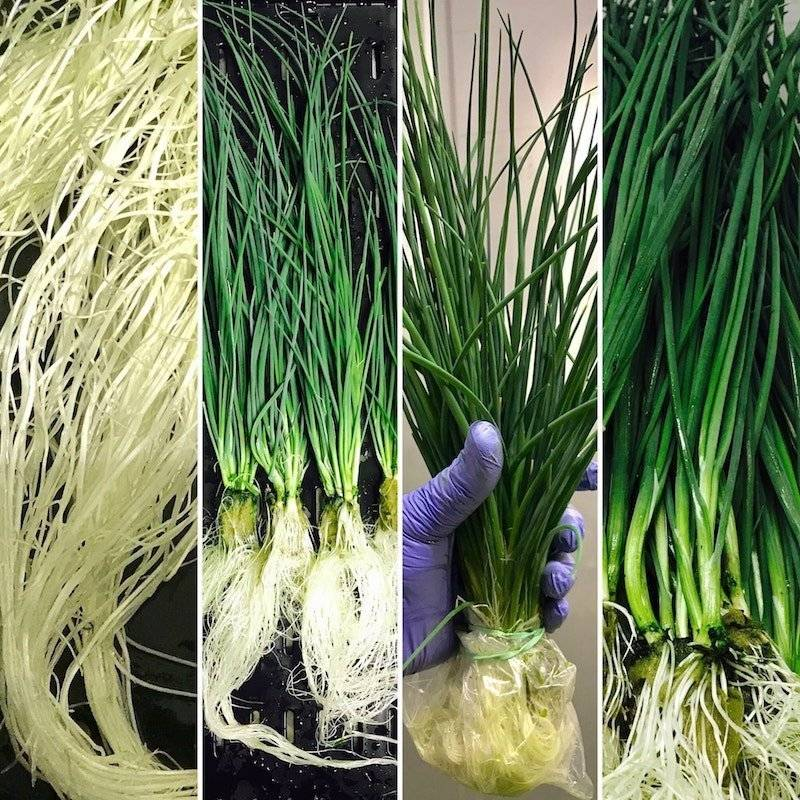 The beautiful white roots of a hydroponic onion indicate a healthy plant. Nutrients dissolved in water are absorbed via this root system.